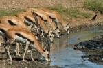 Gazelas tomando agua