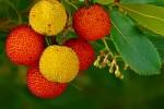 Espanha-Medronho-Fruto