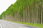 floresta-de-eucalipto