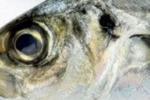 peixe estragado