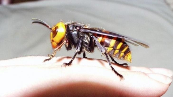 vespa-asiatica